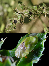 Tortoise beetle, Cassida rubiginosa (green thistle beetle): Larvae and adult